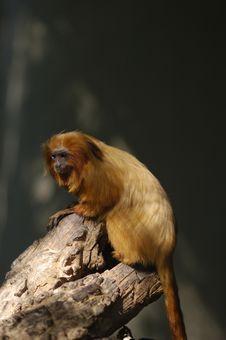 Free Monkey Royalty Free Stock Image - 5144156