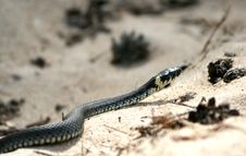 Free Grass-snake Royalty Free Stock Photography - 5144207