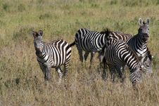 Free Zebras In Africa Stock Images - 5144224
