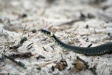 Free Grass-snake Stock Image - 5144241