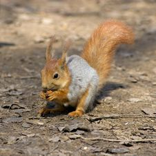 Free Squirrel. Royalty Free Stock Image - 5144496