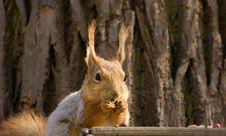Free Squirrel. Stock Photos - 5144533