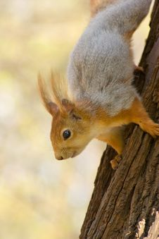 Free Squirrel. Royalty Free Stock Photo - 5144555