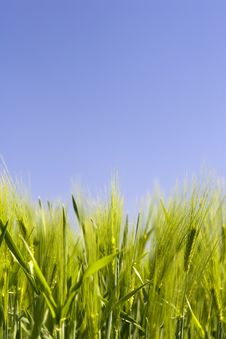 Free Green Wheat Field With Blue Sky Stock Photos - 5144683