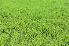 Free Fresh Green Grass Stock Photo - 5144910
