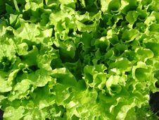 Free Green Salad. Stock Photos - 5145803