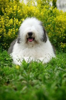 Free English Old Sheepdog Royalty Free Stock Photography - 5146107