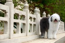 Free English Old Sheepdog Stock Photo - 5146110