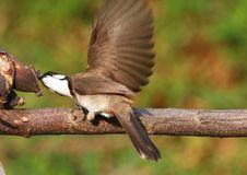 Free Bird Feeding On Tree Branch. 59-19 Jpg Royalty Free Stock Photos - 5146438