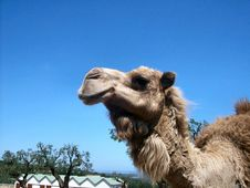 Free Camel S Profile Stock Photography - 5147292