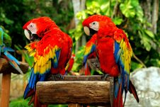 Free Couple Of Parrots Stock Photos - 5147973