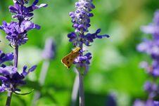 Free Butterfly On Purple Flower Royalty Free Stock Photo - 5148085