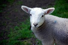 Free Lamb Royalty Free Stock Photos - 5148208