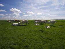 Free Cows On The Green Field Royalty Free Stock Photos - 5148258