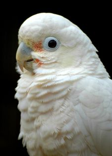 Free Cockatoo Royalty Free Stock Image - 5148526