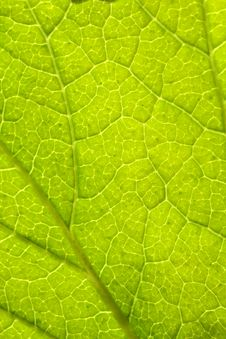 Free Green Leaf Royalty Free Stock Photography - 5148607