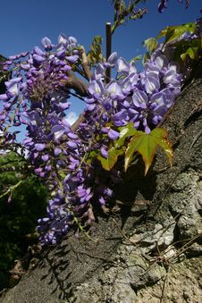 Free Wisteria Stock Images - 5149034