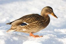Free Duck Royalty Free Stock Photos - 5149578
