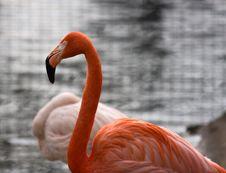 Free Flamingo Stock Photography - 5149592