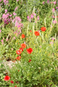 Summer Meadow With Red Poppies Stock Photography