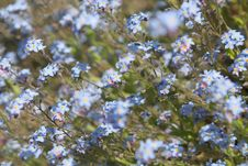 Free Forget Me Not Stock Photos - 5149823