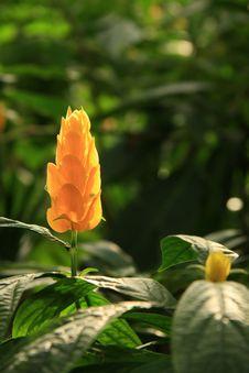 Free Orange Plume Royalty Free Stock Images - 5149989