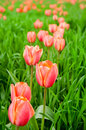 Free Row Of Beautiful Red Tulips In The Field Royalty Free Stock Photography - 5152567