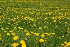 Free Dandelions. Stock Photos - 5150133