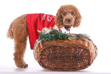 Free Poodle Royalty Free Stock Photography - 5151337