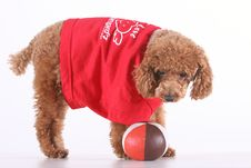 Free Poodle Stock Image - 5151341