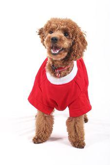 Free Poodle Royalty Free Stock Image - 5151346