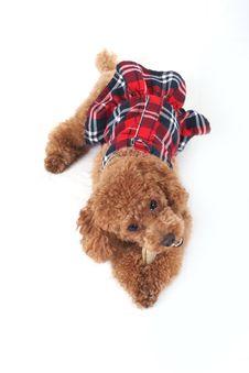 Free Poodle Stock Photos - 5151353