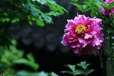 Free Red Peony  With Black Background Stock Images - 5151804