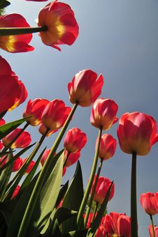 Free Red Tulips Royalty Free Stock Photos - 5151858