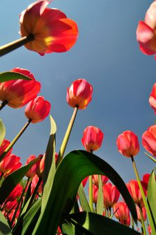 Free Red Tulips Stock Photo - 5151870