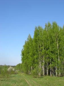Birch Grove In Spring Morning Stock Photos