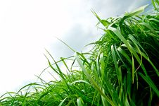 Free Decorative Grass Royalty Free Stock Photography - 5153327