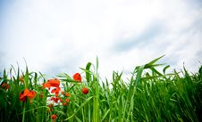 Free Poppies Stock Image - 5153341