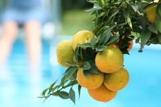 Free Orangetree At The Pool Royalty Free Stock Images - 5154759