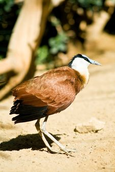 Free African Jacana Royalty Free Stock Images - 5154909