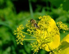 Free Bee In Flowers Stock Image - 5155251