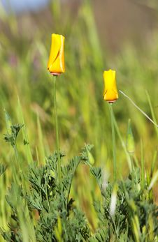 Free California Poppy Stock Images - 5155804