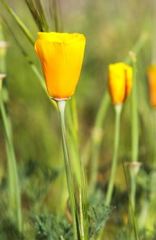 Free California Poppy Royalty Free Stock Images - 5155909