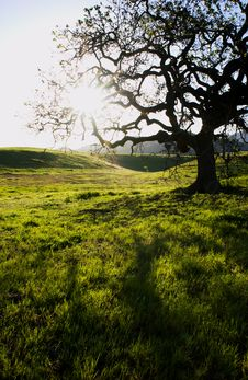 Free Oak Tree Royalty Free Stock Image - 5156576