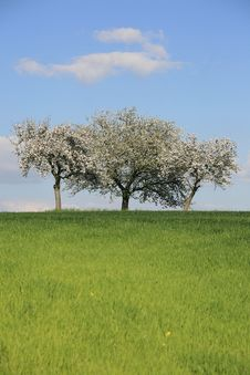 Free Triple Blossomy Trees Stock Photography - 5156582