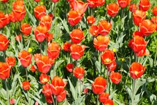 Free Red Tulips Royalty Free Stock Image - 5156716