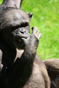 Free Chimp Royalty Free Stock Image - 5157496