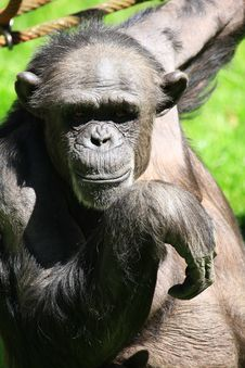 Free Chimp Royalty Free Stock Photography - 5157547