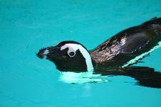Free Penguin Stock Photo - 5157610