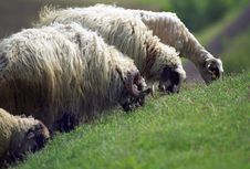 Free Feeding Sheep Stock Photo - 5157660